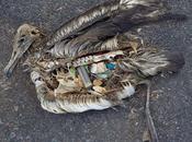 bébés Albatros nourrient platique…