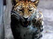tigre cure