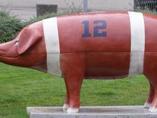 cochon dans maïs