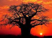 n'ai rencontré baobab (Sabine Sicaud)