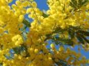 Janvier, mois mimosa dans