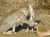 belle histoire trois guépards jeune antilope (images)