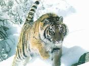 Tigre rugira 2010…