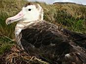 Albatros, oiseaux légende Terres Australes jardin plantes