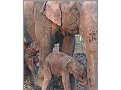 Thaïlande région Surin naissance jumeaux éléphants (vidéo)