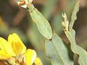 Carqueja (Pterospartum tridentatum)