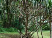 Népotisme tahitienne pandanus