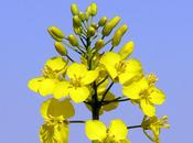 L'huile colza réputée pour rapport oméga-6/oméga-3