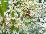 papillon diurne antennes démesurées