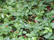 fraisier indien