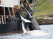 Commission baleinière internationale toujours dans l'impasse