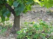 l'oxalis dans vignes