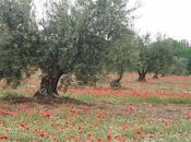 Confiture d'olives