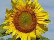 conseils pour conserver fleurs Tournesol Hélianthus