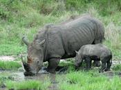 empoisonner cornes rhinos suffirat'il pour sauver