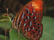 ailes papillon (Jack Kerouac)