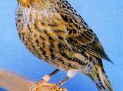 affections pattes chez oiseaux (suite).