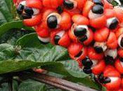 guarana plante sacrée venue Indes