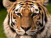 Bang mobilise pour sauver tigre Sibérie