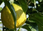 Langouste beurre bergamote