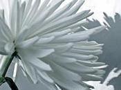 chrysanthèmes blancs (Abbas Kiarostami)