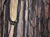 Érable champêtre parasité Armillaria medea