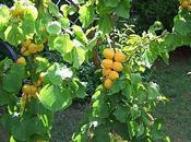 Confiture abricot fruits passion.
