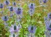 Carnet gentianes chardons bleus