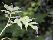 Sambucus peruviana ressuscite