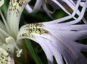 Hautes Chaumes vosgiennes Dianthus superbus
