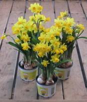 Fleurs printemps: narcisses