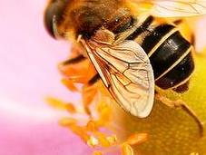 abeilles disparaissent... nous savions