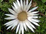 Carlina acaulis: chardon argenté, plante alpine (silver thistle, Silberdistel)