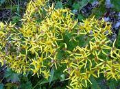 Flore alpine: séneçon Alpes Senecio fuchsii Fuchssches Greiskraut