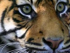 Tiger voyage Indonésie
