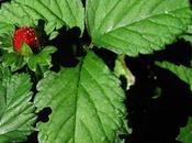 Duchesnea indica, faux fraisier pourrait devenir encombrant