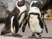 Toronto sépare deux pingouins gays