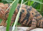 Madagascar tiers espèces reptiles terrestres sont menacés