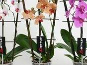 orchidées Phalaenopsis bambous