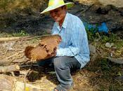 Province Kaeo: ramasse crottes d'éléphants pour faire médicaments.