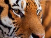 Inde quand tigre Bengale préserve forêt déboisement