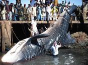 images requin baleine géant
