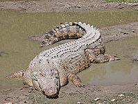 homme castré crocodile