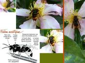 frelon asiatique, redoutable tueur d'abeilles