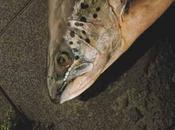 Farfalle saumon