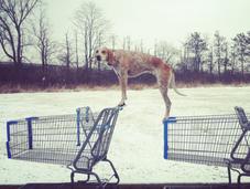 Maddie coonhound