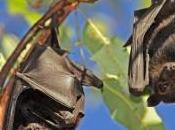 Agriculture chauves-souris pour remplacer pesticides