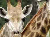Pologne girafes victimes vandales