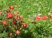 Fleurs Saint-Quentin(photos perso juillet)