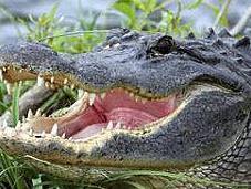 main arrachée alligator, poursuivi pour avoir nourri l'animal